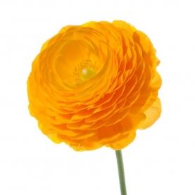 Ранункулюс Желтый фото