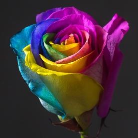Роза Радужная Голландия (70 см.) фото