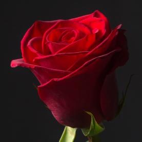 Роза алая Эквадор (60 см) поштучно фото