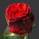 Роза (El Toro)