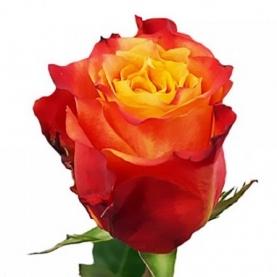 Роза Желто-Оранжевая (30-40 см.)