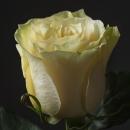 Роза Белая (Mondial)