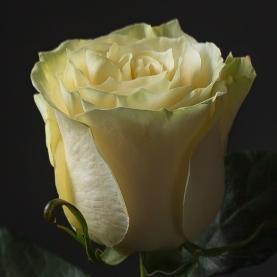 Роза белая Эквадор (40 см) поштучно фото