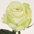 Роза Белая (Avalange)