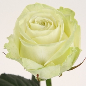 Роза Красная Голландия (50 см.) поштучно фото