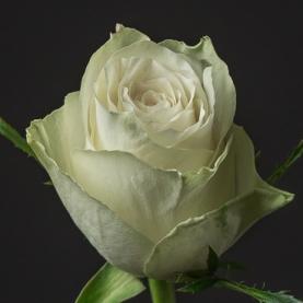 Роза белая Кения поштучно фото