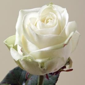 Роза Белая Россия (70 см.) поштучно фото