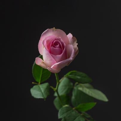 Роза Бело-Розовая Кения (37-40 см.) фото