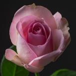 Роза (Avalanche Sorbet)
