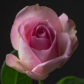 Роза Бело-Розовая Кения фото