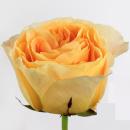 Роза Пионовидная Желтая (30-40 см.)
