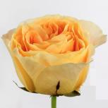 Роза (Candlelight)