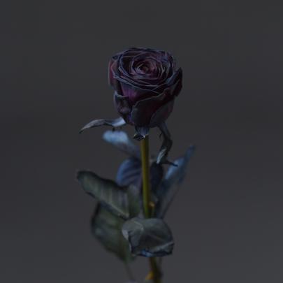 Роза черная Голландия (70 см) поштучно фото