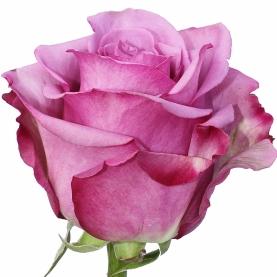 Роза Фиолетовая (50 см.) фото
