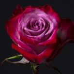 Роза Фиолетовая (Deep Purple)