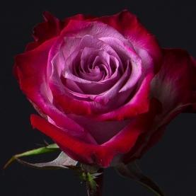 Роза фиолетовая Эквадор (70 см) поштучно фото