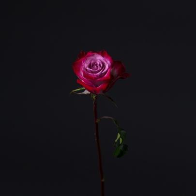Роза фиолетовая Эквадор (40 см) поштучно фото