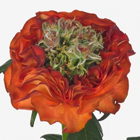 Роза Flash Eye (40 см.) фото