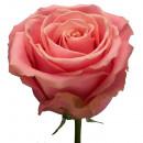 Роза (Hermosa)