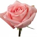 Роза Розовая (100 см.)