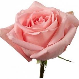 Роза Розовая (50 см.) фото