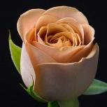 Роза (Cappuccino)