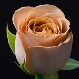 Роза Кофейная Голландия (40 см.)