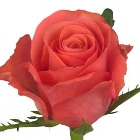 Роза Коралловая Кения (30-40 см.) фото
