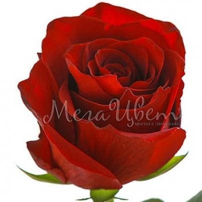 Роза красная Эквадор (50 см.) поштучно фото