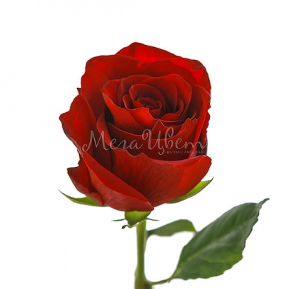 Роза красная Эквадор (80 см.) поштучно фото