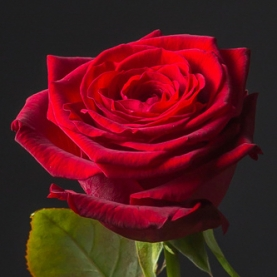 Роза красная Кения поштучно фото