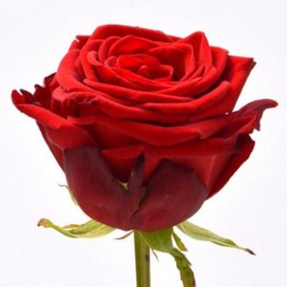 Роза Красная Россия (70 см.) поштучно фото