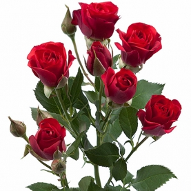 Роза Красная Кустовая (50 см.) фото