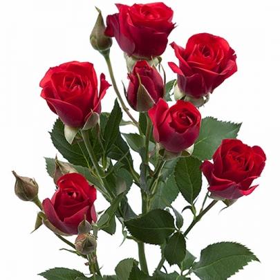 Роза Красная Кустовая (70 см.) фото