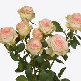 Роза Кустовая Arti (50 см.) фото