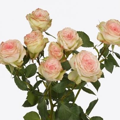 Роза Кустовая Arti (60 см.) фото