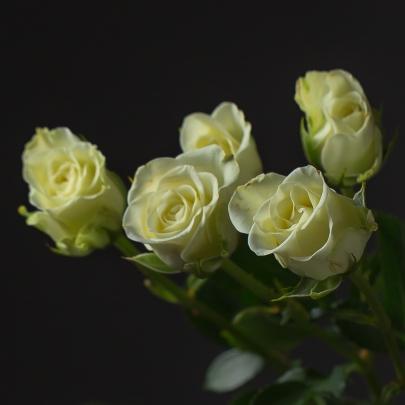 Роза Белая Кустовая (60 см.) фото