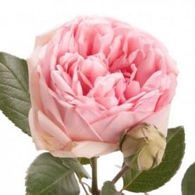 Роза Кустовая Charming Piano (50 см.) фото