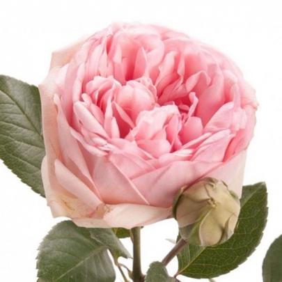 Роза Кустовая Charming Piano (60 см.) фото