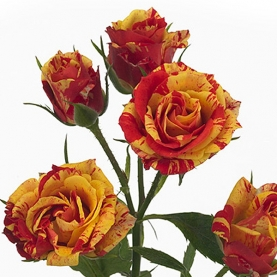 Роза Кустовая Fire Flash (70 см.) фото