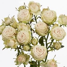 Роза Кустовая Galina (40 см.) фото