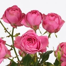 Роза Кустовая Пионовидная Ярко-Розовая (30-40 см.) фото