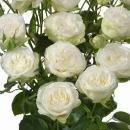 Роза Кустовая Пионовидная Белая (30-40 см.)
