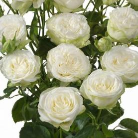 Роза Кустовая Josephine (40 см.) фото