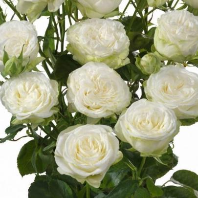 Роза Кустовая Josephine (50 см.) фото