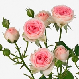 Роза Кустовая Kate-Lynn (50 см.) фото