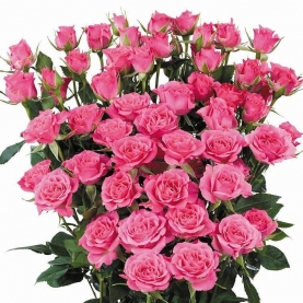Роза Кустовая Ярко-Розовая (30-40 см.) фото