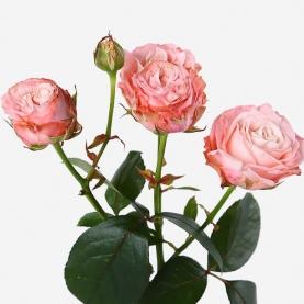 Роза Кустовая Madam Bombastic (40 см.)
