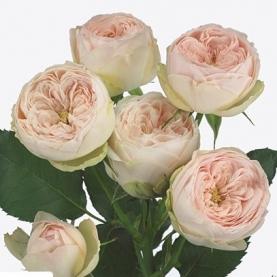 Роза Кустовая Mansfield Park (40 см.) фото
