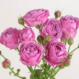 Роза Кустовая Misty Bubbles (40 см.) фото